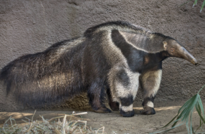 ロサンゼルス動物園 アリクイジャイアント